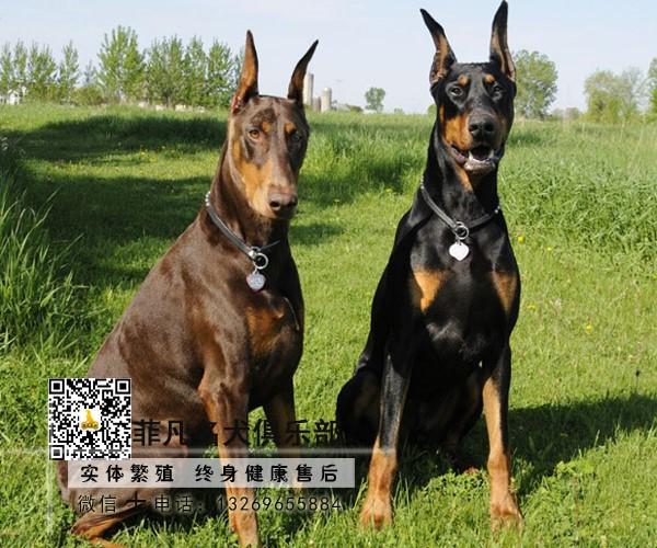犬舍繁育极品杜宾幼犬 疫苗驱虫齐全购买签协议可送货