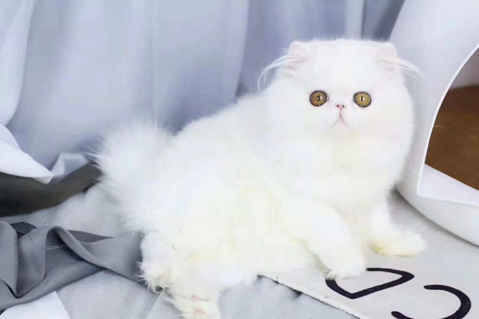 官方保障 高品质   波斯猫   质保出售