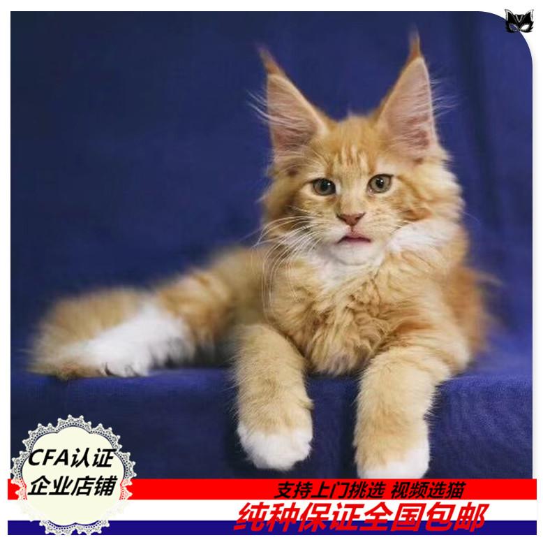 缅因猫活体宠物猫棕银虎斑幼猫活体巨型猫缅因猫咪库恩猫长毛猫