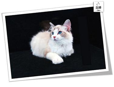 吉祥猫苑,山东最大的纯种布偶、缅因繁育基地,品质保证