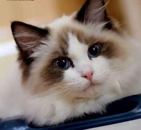 纯种布偶、北京最大布偶猫繁殖基地、品质保障、可全国托运