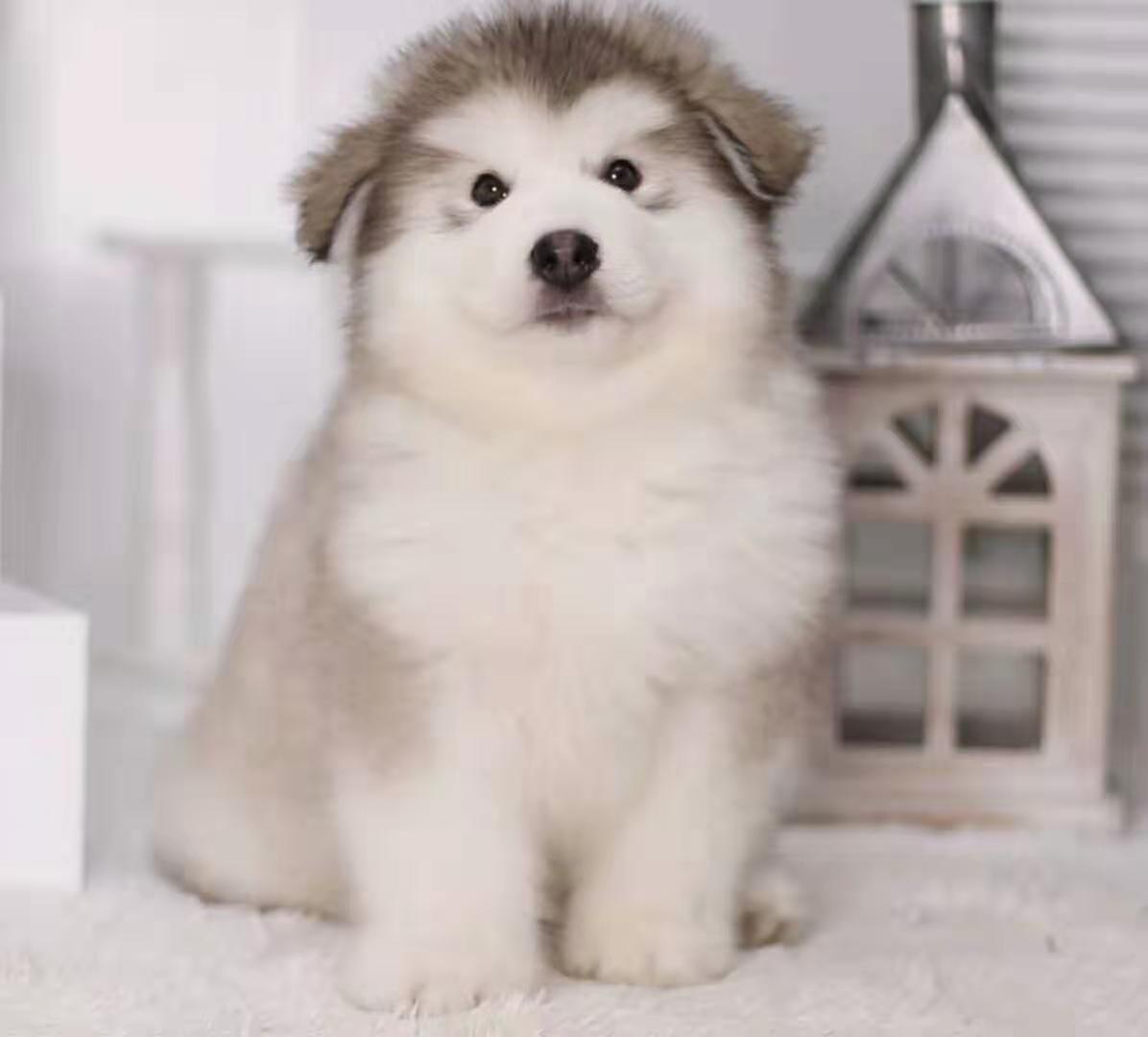 犬舍繁殖纯种健康的高端阿拉斯加幼犬