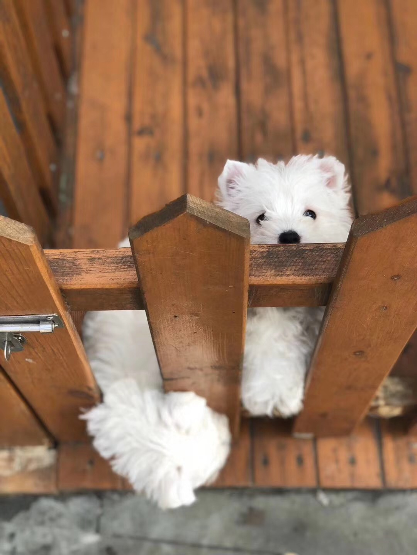 犬舍繁殖纯种健康的西高地幼犬