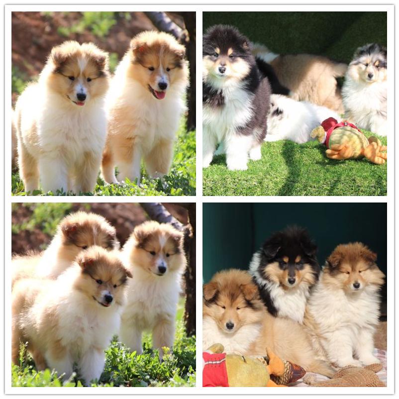 犬舍繁殖纯种健康的精品苏牧幼犬