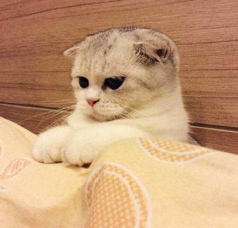 官方推荐猫舍 7天无理由退货 正规CFA猫舍 折耳猫出售