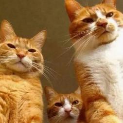 官方推荐猫舍 7天无理由退货 正规CFA猫舍 中华田园猫