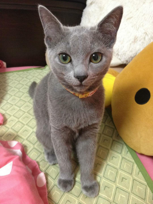 官方推荐猫舍 7天无理由退货 正规CFA猫舍 纯种蓝猫