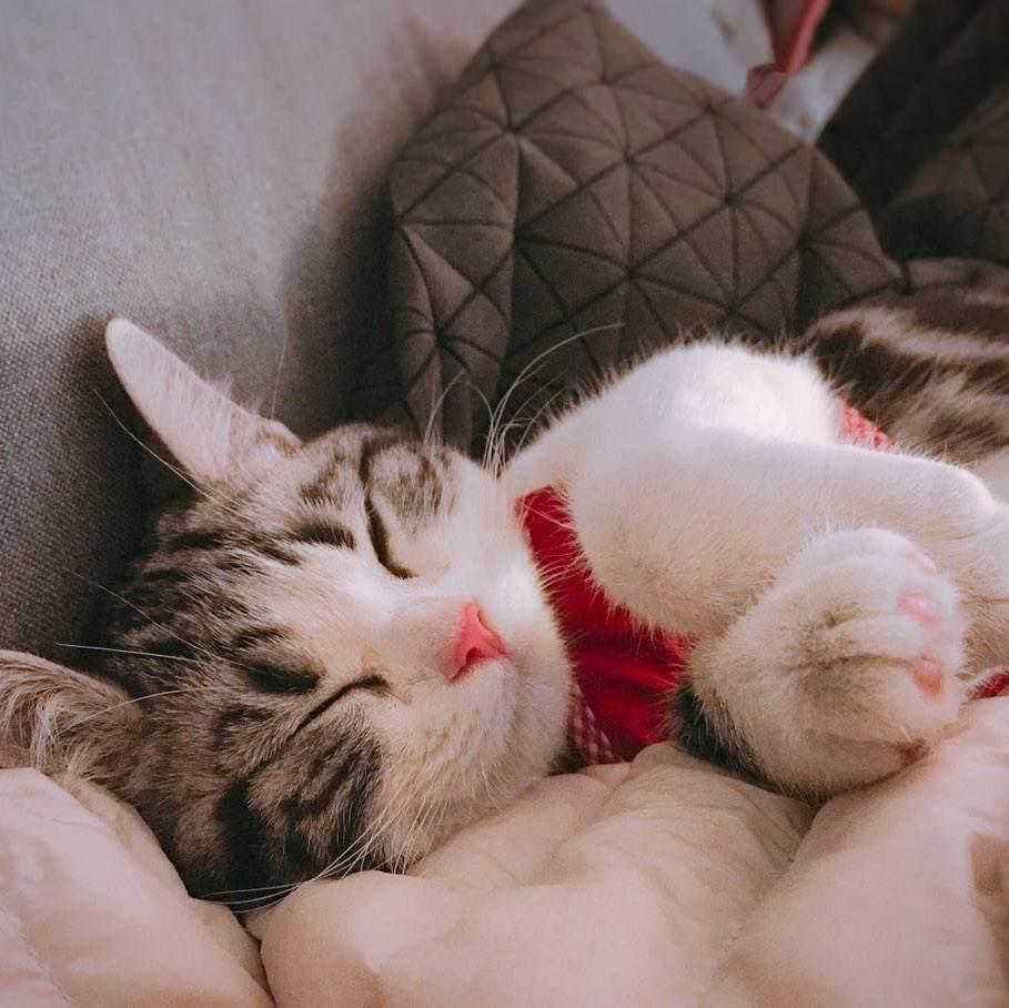 官方推荐猫舍 7天无理由退货 正规CFA猫舍 美国短毛猫