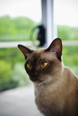 官方推荐猫舍 7天无理由退货 正规CFA猫舍 缅因猫