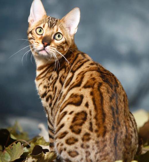 官方推荐猫舍 7天无理由退货 正规CFA猫舍 豹猫