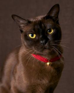 包纯种健康 缅甸猫 包养活 全国发货 签订合同