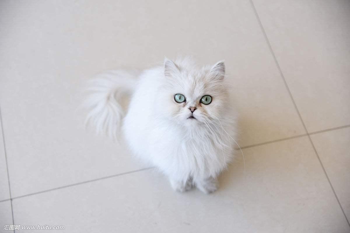 包纯种 健康 包养活金吉拉猫咪出售