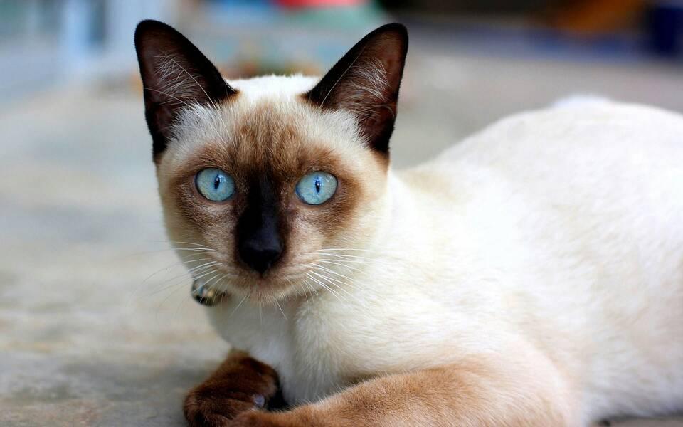 官方推荐猫舍全国签订协议包纯种健康暹罗猫包活