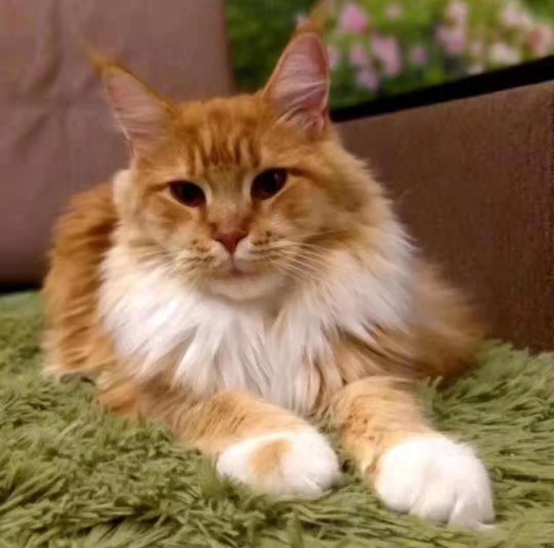 包纯种健康 全国包邮 缅因猫 签订协议