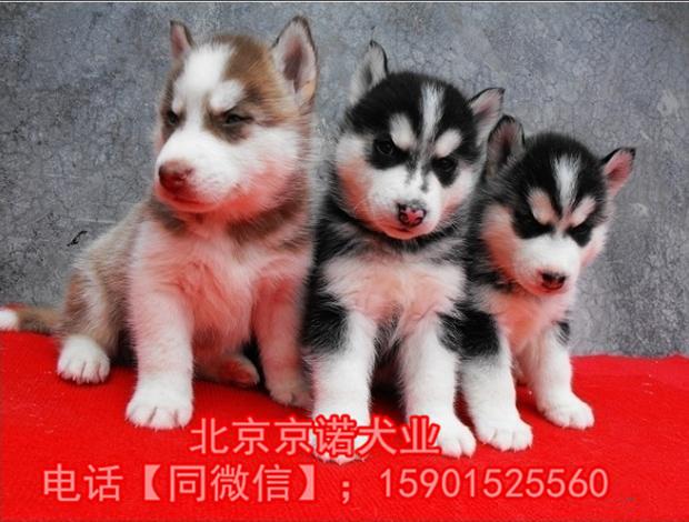 纯种哈士奇 北京哈士奇多少钱一只 北京京诺犬业直销