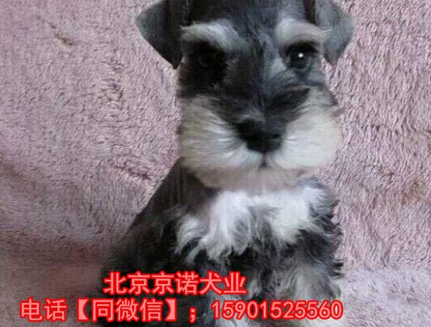 纯种雪纳瑞赛级雪纳瑞多少钱一只 保健康 京诺犬业直销