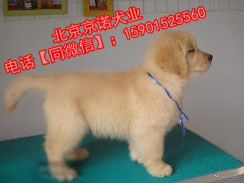 纯种金毛 北京金毛多少钱一只 保健康 北京京诺犬业直销