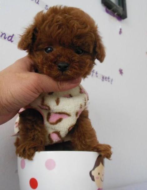 纯种茶杯泰迪犬 贵宾犬丨包健康签协议丨现货视频挑选