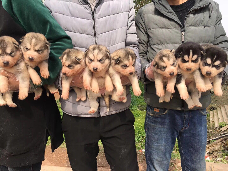上海松江区出售纯种哈士奇幼犬,三火蓝眼哈士奇出售中