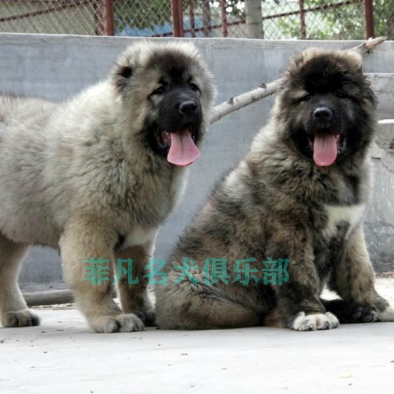 纯种高加索幼犬 熊版狼青犬高加索犬 巨型高加索宠物