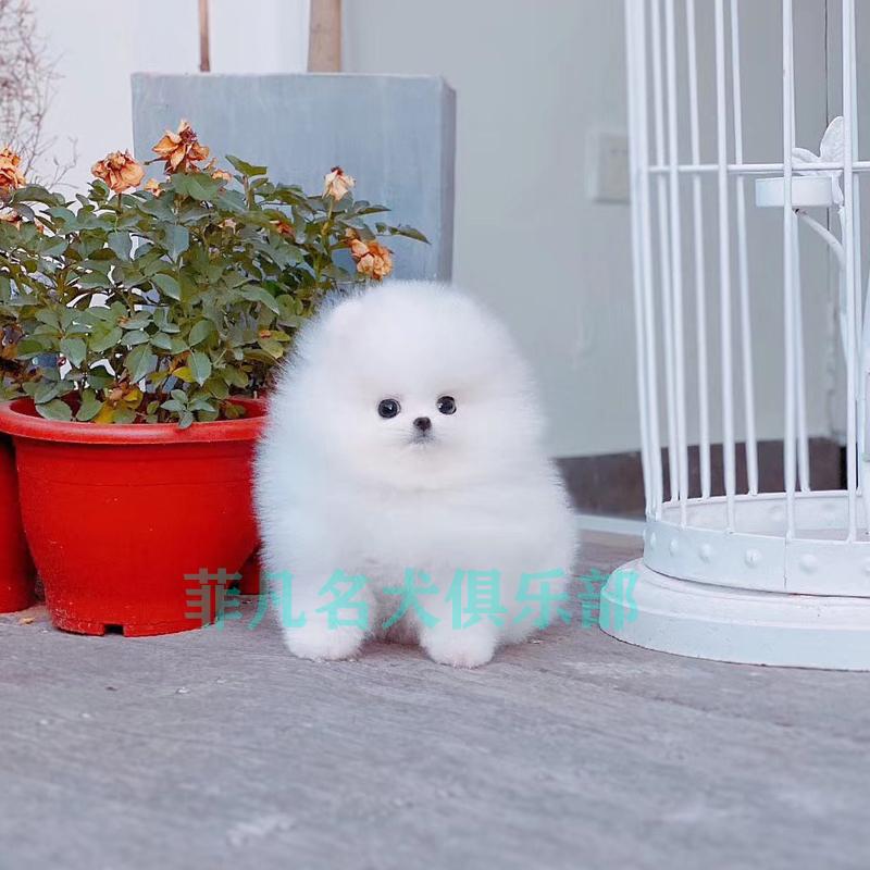 博美幼犬活体纯种俊介犬哈多利比熊宠物狗茶杯小型