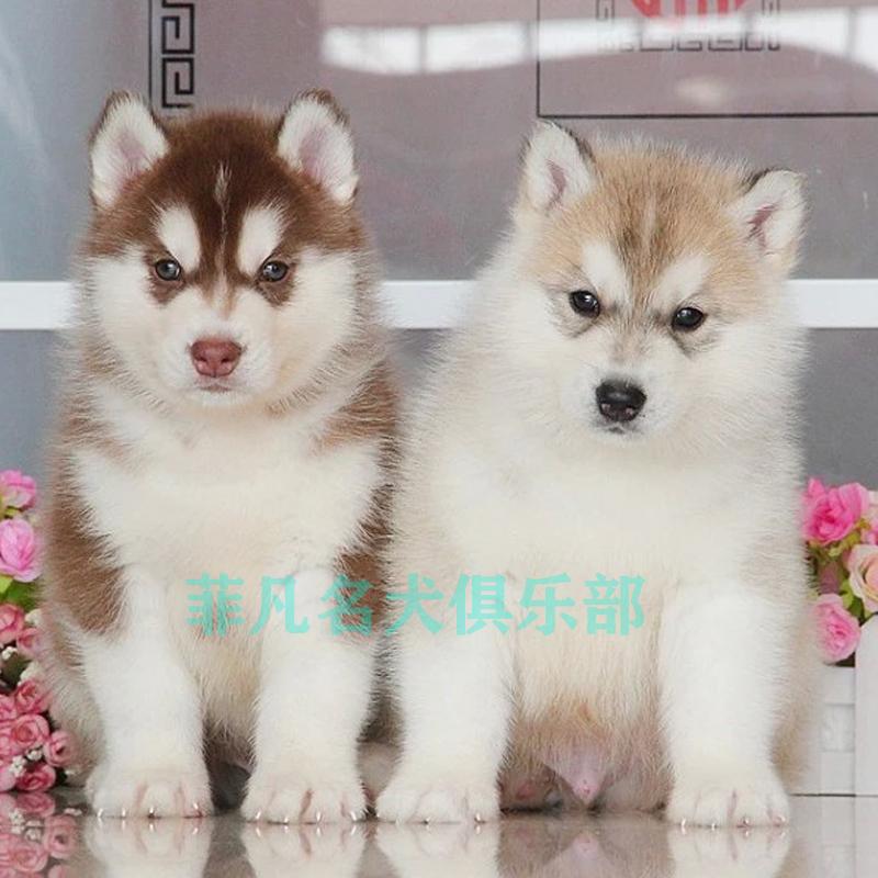 纯种哈士奇幼犬家养双血幼犬蓝眼黑白色宠物狗狗幼犬