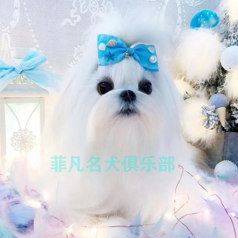 小体马尔济斯犬幼犬纯种小狗狗白色马尔济斯比熊犬幼崽