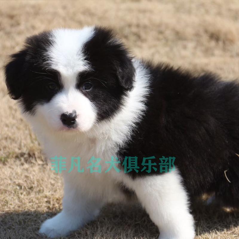 边境牧羊犬幼犬纯种活体宠物狗高智商中型小狗狗三白七