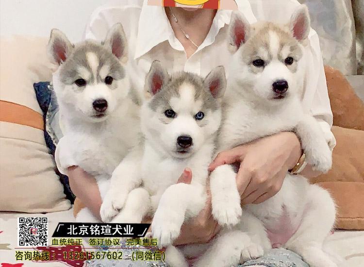 纯种三把火哈士奇幼犬出售纯种健康哈士奇犬舍直销可送货