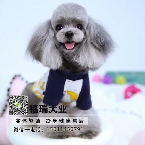 飞耳灰色泰迪幼犬纯种茶杯犬袖珍泰迪犬小狗狗