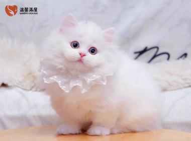 纯种波斯猫活体幼猫正规猫舍培育高品质波斯猫 全国发货