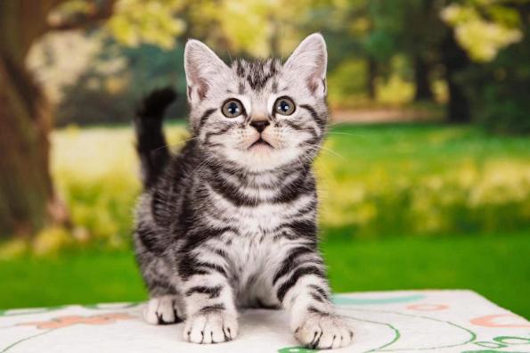 纯种美国短毛猫 包纯种包健康 公母都有 全国发货