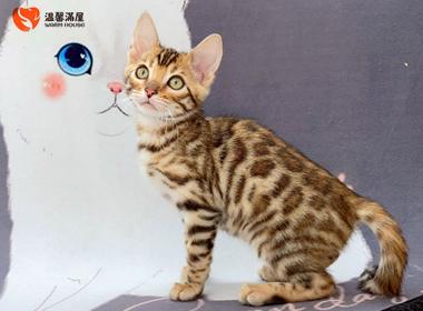 纯种豹猫幼猫专业培育高品质豹猫孟加拉豹猫全国发货