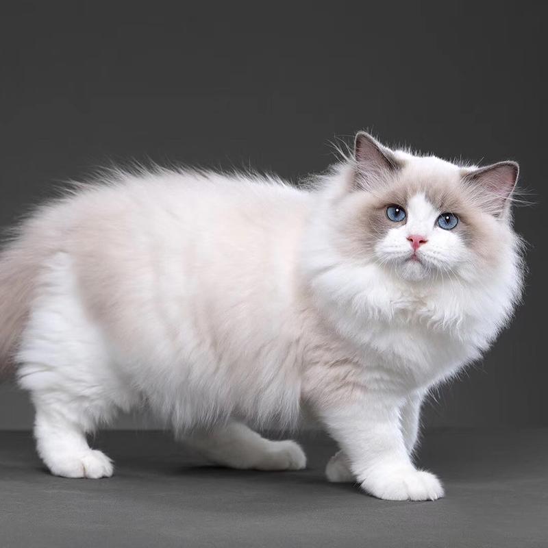 纯种布偶猫可选多 正规CFA猫舍包健康包纯种全国发货