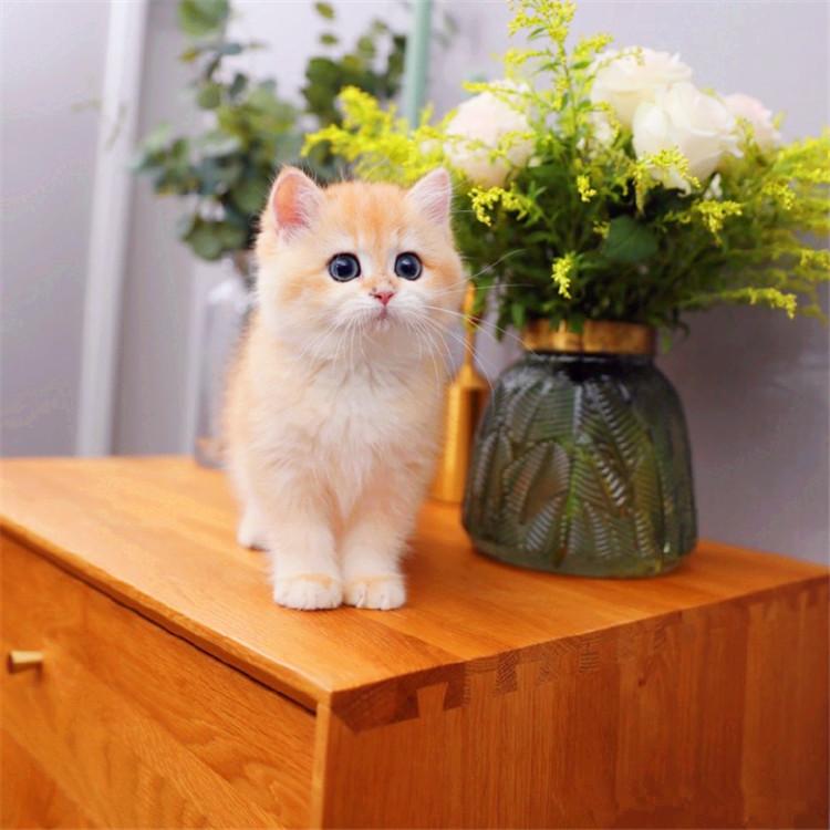 英国短毛猫 蓝猫 蓝白 金渐层 银渐层 全国发货