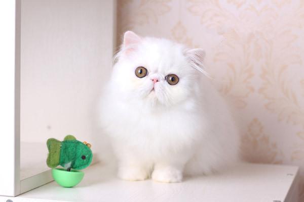 纯种波斯猫多只可选 正规CFA猫舍包健康包纯种全国发货