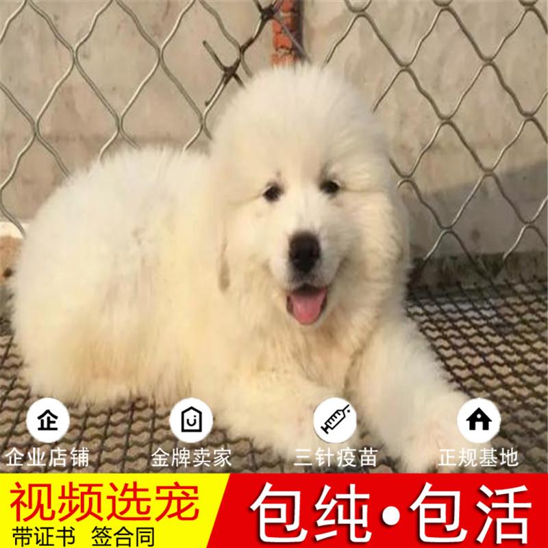 纯种中亚牧羊犬幼犬活体宠物狗狗家养小型犬正宗真狗幼崽