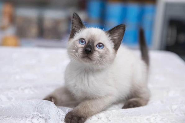 纯种暹罗猫咪 泰国暹罗猫幼猫出售 疫苗齐全科学繁育全国发货