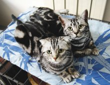 信誉好的猫舍就是康达猫舍,广州哪里有卖美短