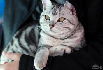 纯种健康的美短虎斑猫珠海猫舍哪里有卖美短猫咪