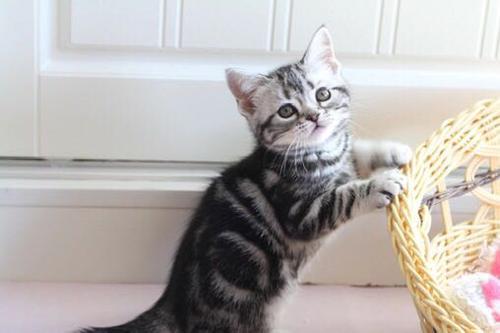 健康美短猫,疫苗齐东莞哪里有卖美短猫