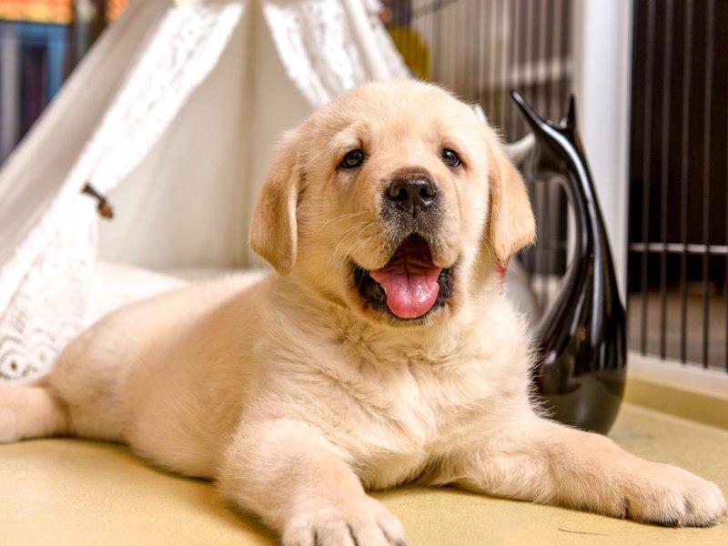 滕州出售自家繁殖拉布拉多幼犬