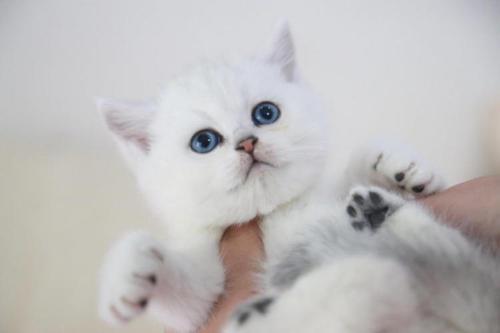英短猫舍 银渐层哪买好健康珠海哪里有卖银渐层猫