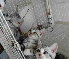 送猫咪到家广州哪里有美国短毛猫美短加白宠物猫