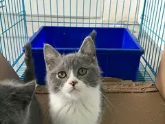 珠海猫舍蓝白猫哪里有卖 英国短毛猫多少钱