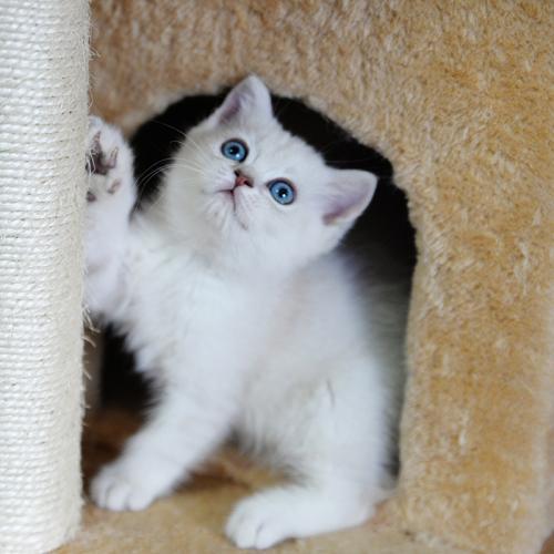 英短银渐层 猫咪到哪买比较好佛山哪里有卖银渐层猫