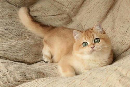 猫舍热售中深圳哪里有卖金渐层猫