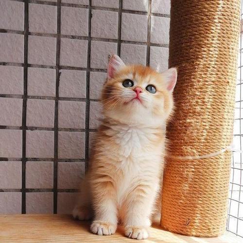 中山哪里有卖金渐层猫,这种猫被称为金豆子