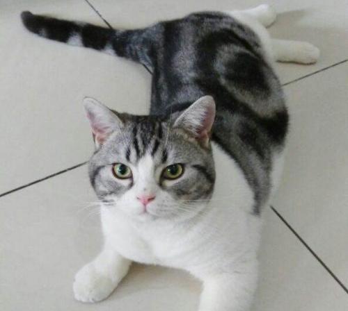 放心购买预定东莞哪里有卖美短,纯种美短猫咪哪买好啊