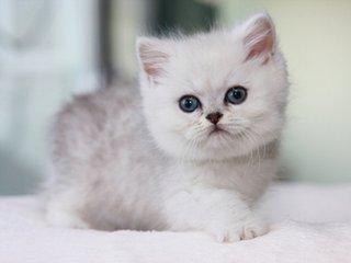 精品银渐层珠海哪里有卖银渐层猫